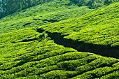 A path through a tea plantation in Munnar, Kerala, India