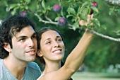 Couple by plum tree, woman picking plum
