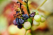 White grapes and raisins on stem, close-up