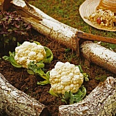 Cauliflowers and lettuce in a vegetable patch