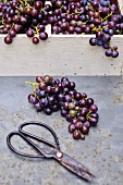 Freshly harvested Concord grapes in a basket with scissors