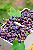 Freshly harvested Concord grapes in a wooden basket