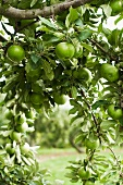 Granny Smith Apples on a Branch in an Apple Tree