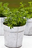 Fresh woodruff in zinc pots