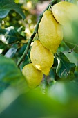 Lemons on a tree (Majorca)