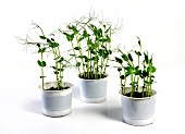 Pea shoots in pots