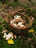 A basket of porcini mushrooms in the forest