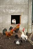 Moderne Landidylle - Hähne und Hennen vor ihrem Stall mit Betonfassade