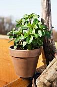 Fresh mint in a flower pot in the sun
