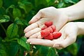 Hands holding fresh raspberries