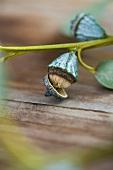 Eucalptus buds