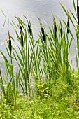 Rohrkolbengewächse am Seeufer (Typha latifolia)