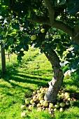 Windfalls under an apple tree