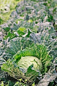 Savoy cabbages in the field