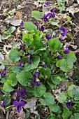 Wood violet (viola odorata)