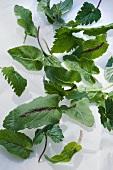 Ziestblättrige Teufelskralle (Phyteuma betonicifolium), Ährige Teufelskralle (Phyteuma spicatum), Pflückgut