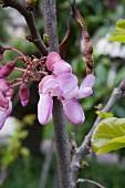 Judas tree with edible flowers