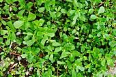 Portulaca oleracea (vegetable purslane)