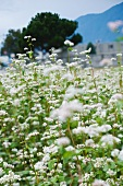 Buckwheat in flower, pseudocereals, knotweed