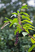 American pokeweed, flowers and fruit