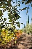 Olive sprigs in front of an autumnal vineyard (Tuscany)