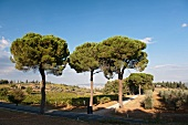Large umbrella pines at the entrance of the Biondi-Santi winery