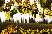 Vines and rows of cypress tress in Tuscany