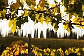 Reben und Zypressenreihen in der Toskana