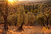 Old olive trees and cypress trees by sunset in Chianti Classico