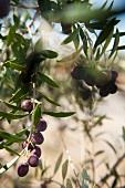 Zweig mit reifen Oliven (Portugal)