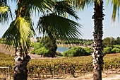 Palm trees, vines, a lake, holiday landscape at the Herdade dos Grous winery (Portugal)