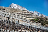 The vineyard with dry stone walls in Fully, Valais, Switzerland