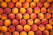 Bergarouge apricots (a cross between Orangered and Bergeron apricots)
