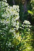 Flowering horseradish