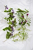 Various vetches sprouts: bush vetch, common vetch, hairy vetch