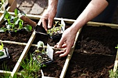 Gardening - Seedlings in a wooden box