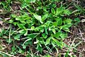 Campion (Silene vulgaris)