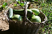 Freshly picked courgettes in a basket in a field