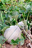 Cantaloupe melons in a field