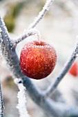 A frozen apple on a tree