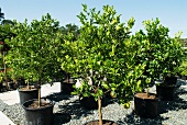 Citrus trees in a garden centre