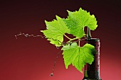 Vine leaves in a wine bottle