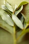 Sprig of bay leaves