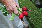 Hand holding freshly picked radishes