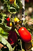 Plum tomatoes on a plant