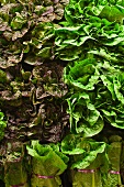 Assorted Lettuce at a Market
