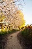 Tree Lined Path Near Laguardia, Spain