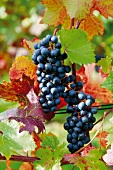Red wine grapes on a vine, Bad Neuenahr-Ahrweiler, Rhineland Palatinate, Germany
