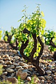 An old Grenache vine in a vineyard with so-called galets roules - large round pebbles