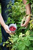 Man picking raspberries from bush